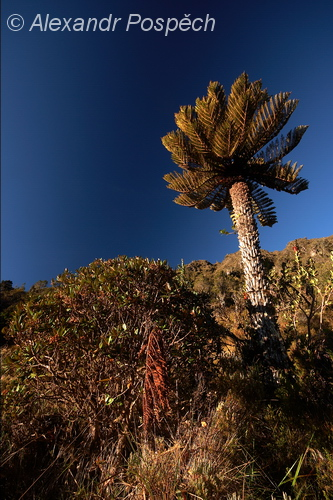 Tree Fern, Highlands