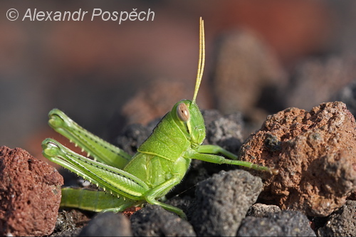 Grasshopper on lava field, Manam